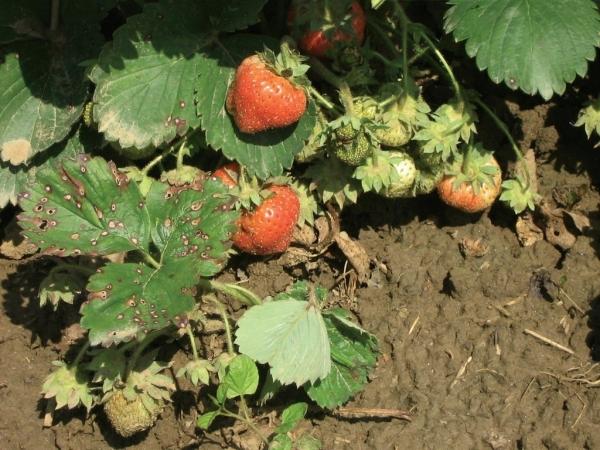 frunzele de căpșuni tratează articulațiile
