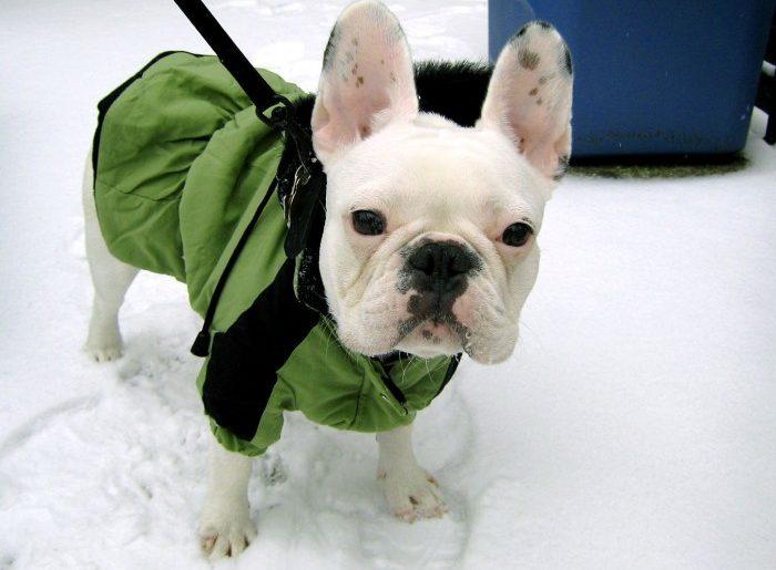 Boala Bulldogului francez tratamentul eficient al articulațiilor și al coloanei vertebrale