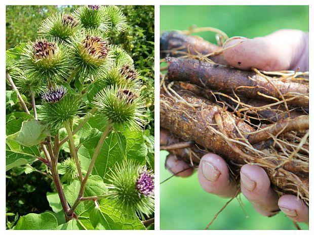 Compresele cu frunze de brusture calmeaza durerile reumatice