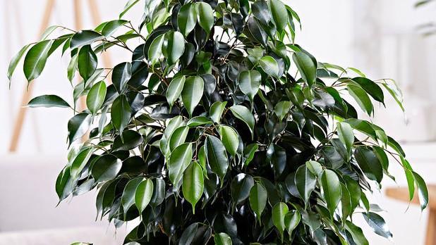 Ficus pentru dureri articulare
