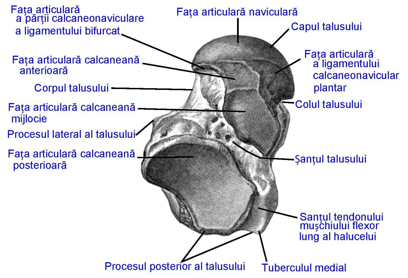 Artroza talo navicular articulare 1 grad