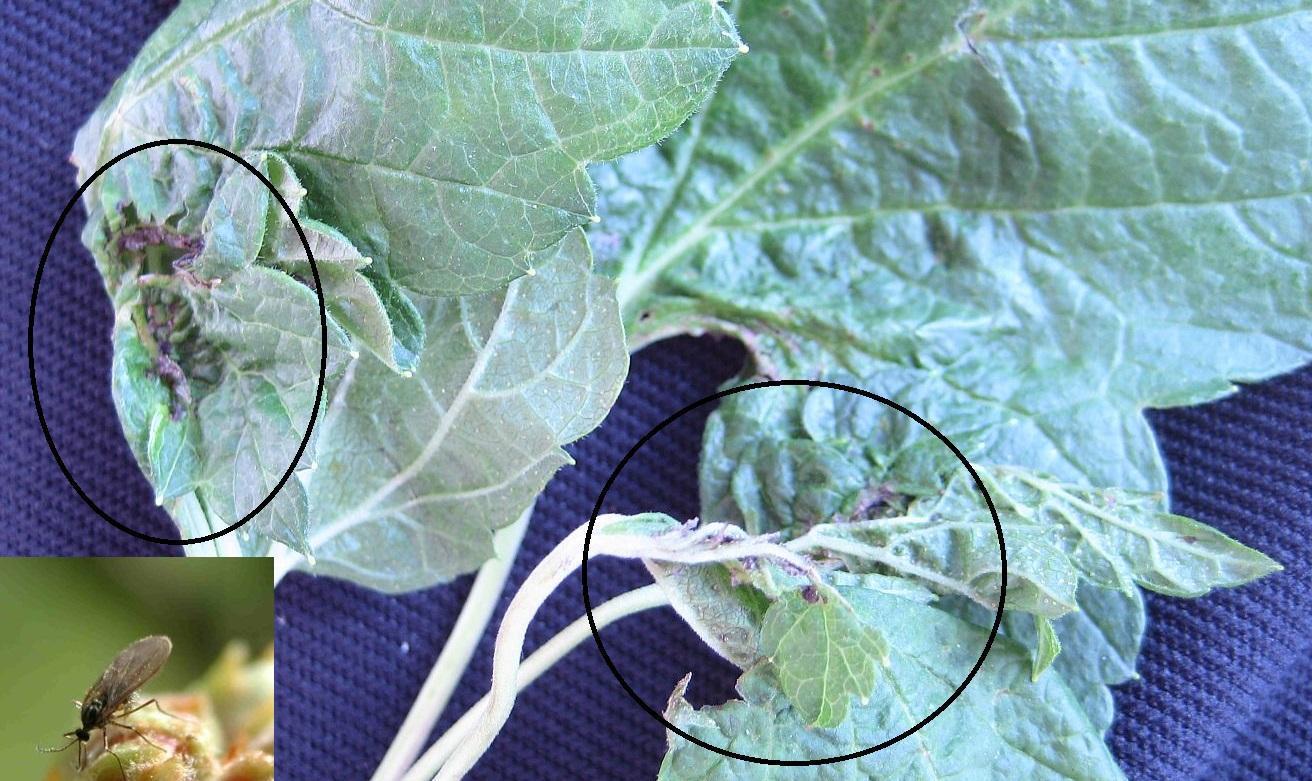 tratamentul articulației frunzelor de coacăze negre