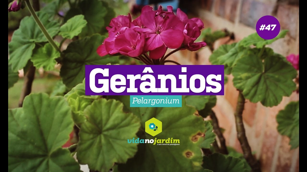 remediu comun pentru geranii