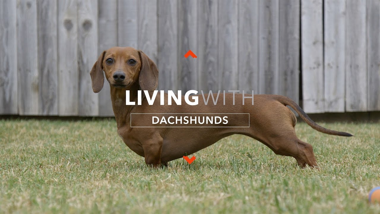 articulațiile dachshund doare