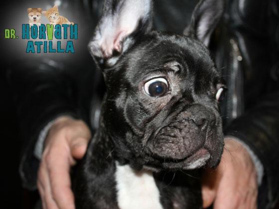 Boala Bulldogului francez durere de șold adolescent