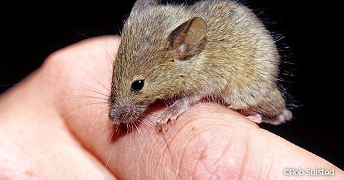 Tratament la genunchi de șoarece