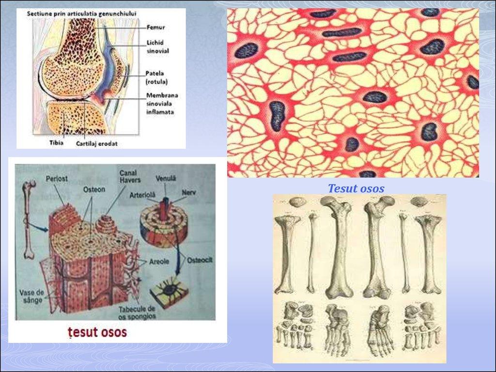 Preparate de reparație a țesuturilor cartilaginoase. TESUTUL CARTILAGINOS