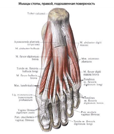 articulațiile mușchilor picioarelor decât a trata boala de articulații crunch