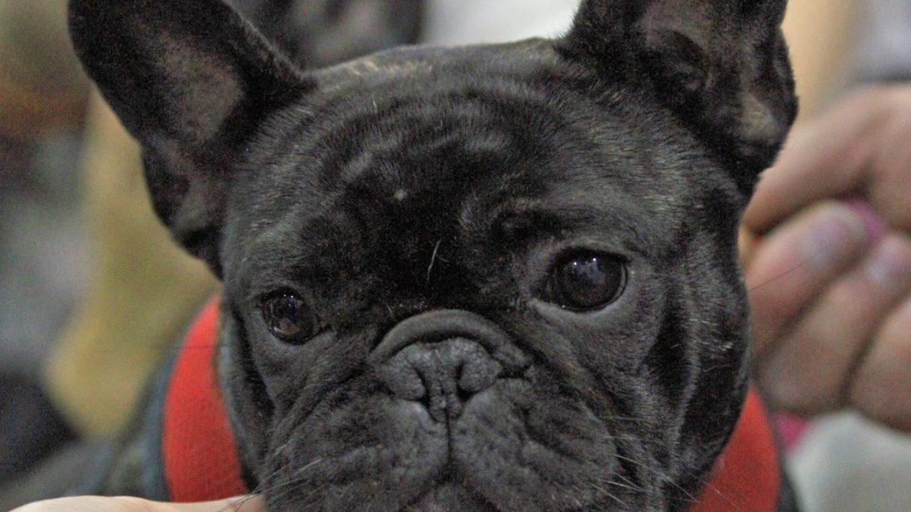 Boala Bulldogului francez tratament articular electrostal