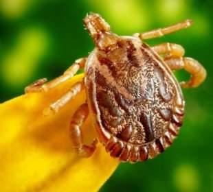 Capusele si boala Lyme. Cum ne protejam? | infostraja.ro
