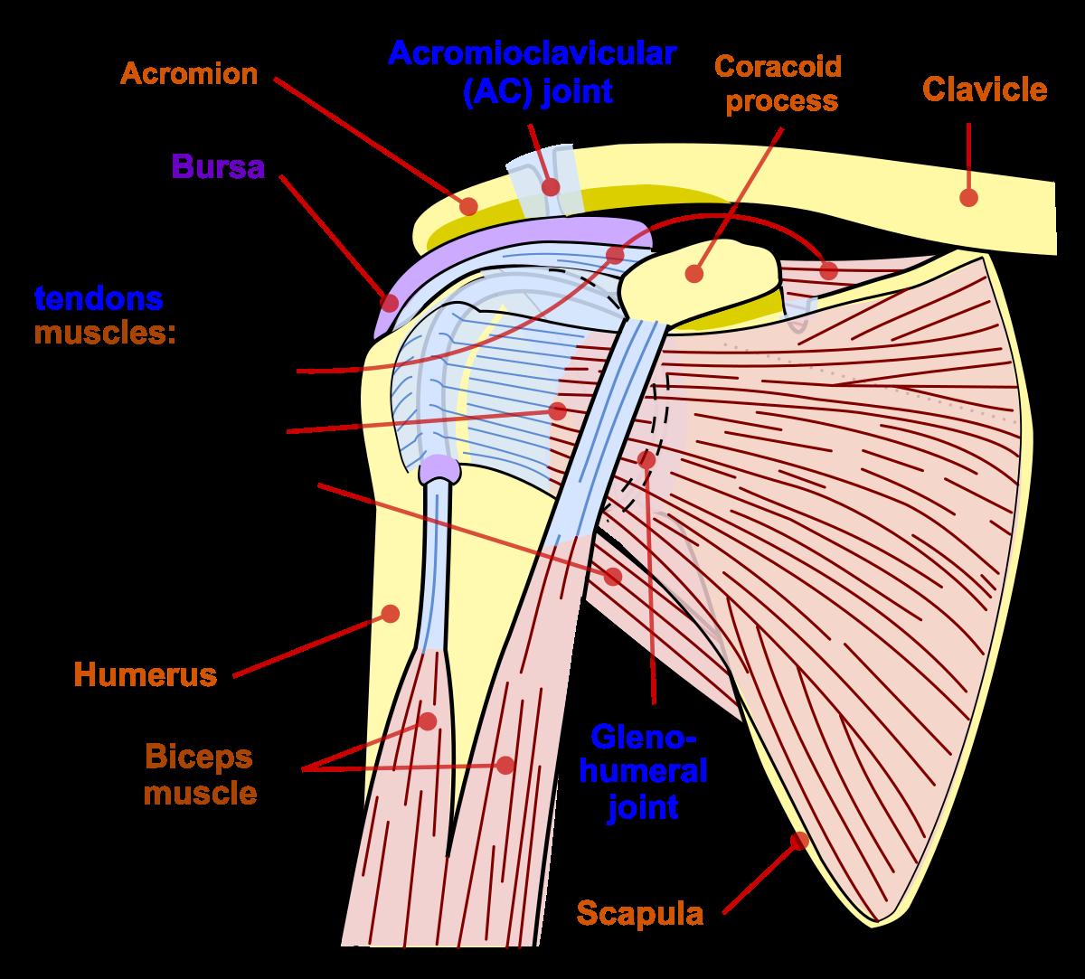 clasificarea leziunilor articulației umărului tratament de entorsă cruciată