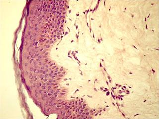 Droguri de țesut conjunctiv șobolan,
