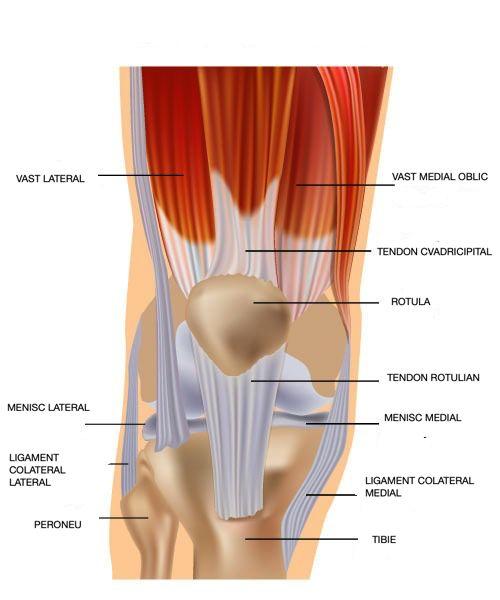 Tendon genunchi