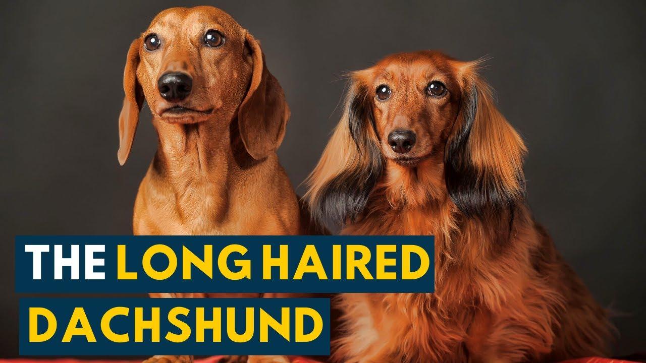 dachshund pentru boala articulară artroza deformantă a 1 tratament articular metatarsofangian